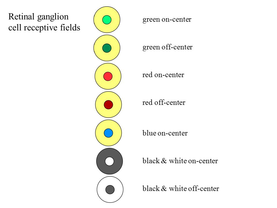 Retinal ganglion cell receptive fields green on-center green off-center red on-center red off-center blue on-center black & white on-center black & white off-center