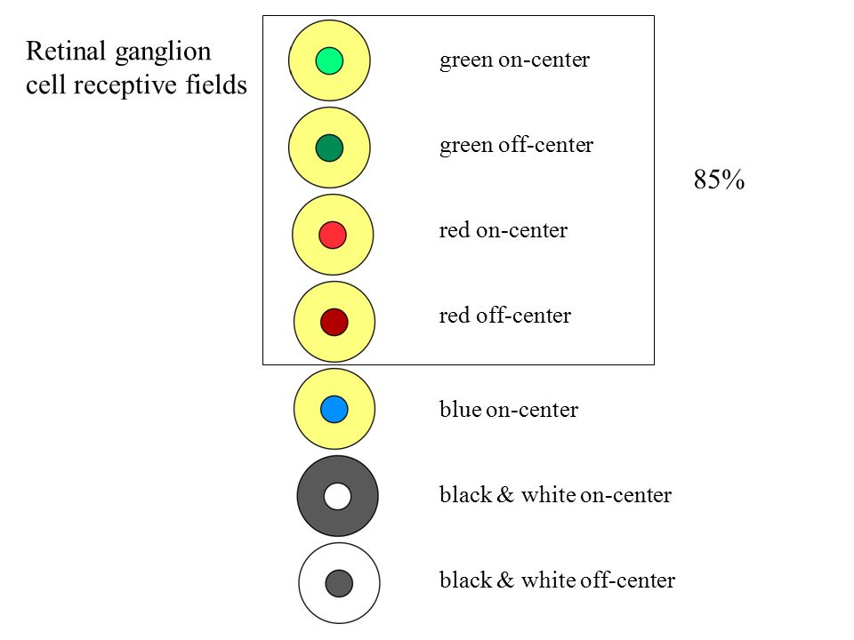 Retinal ganglion cell receptive fields green on-center green off-center red on-center red off-center blue on-center black & white on-center black & white off-center 85%