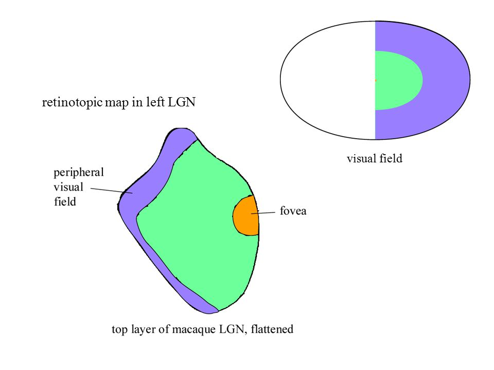 retinotopic map in left LGN visual field