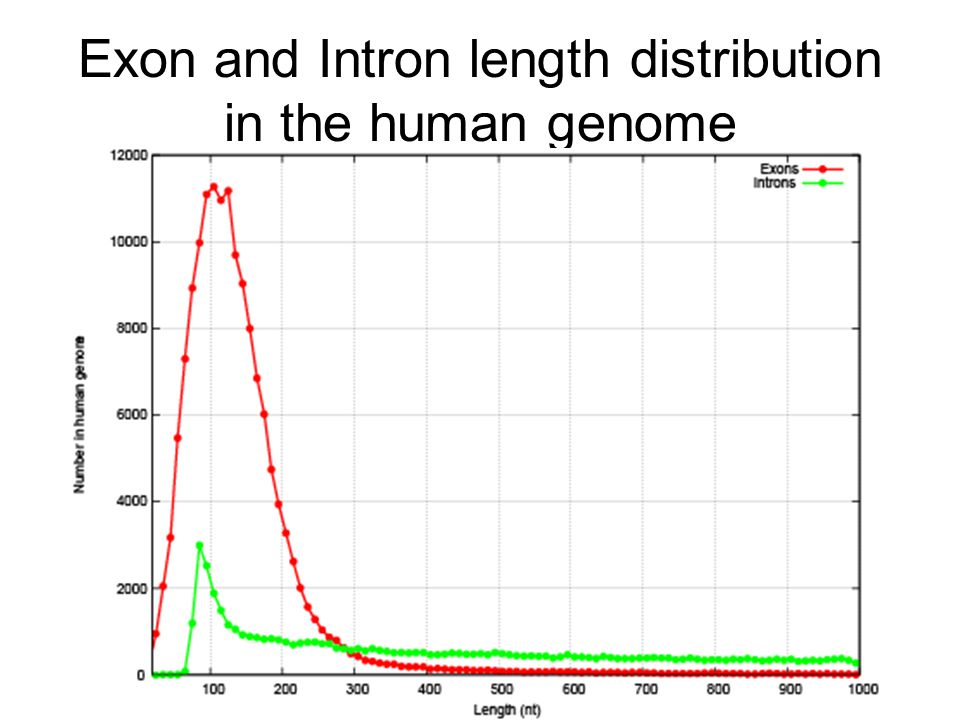 Exon and Intron length distribution in the human genome