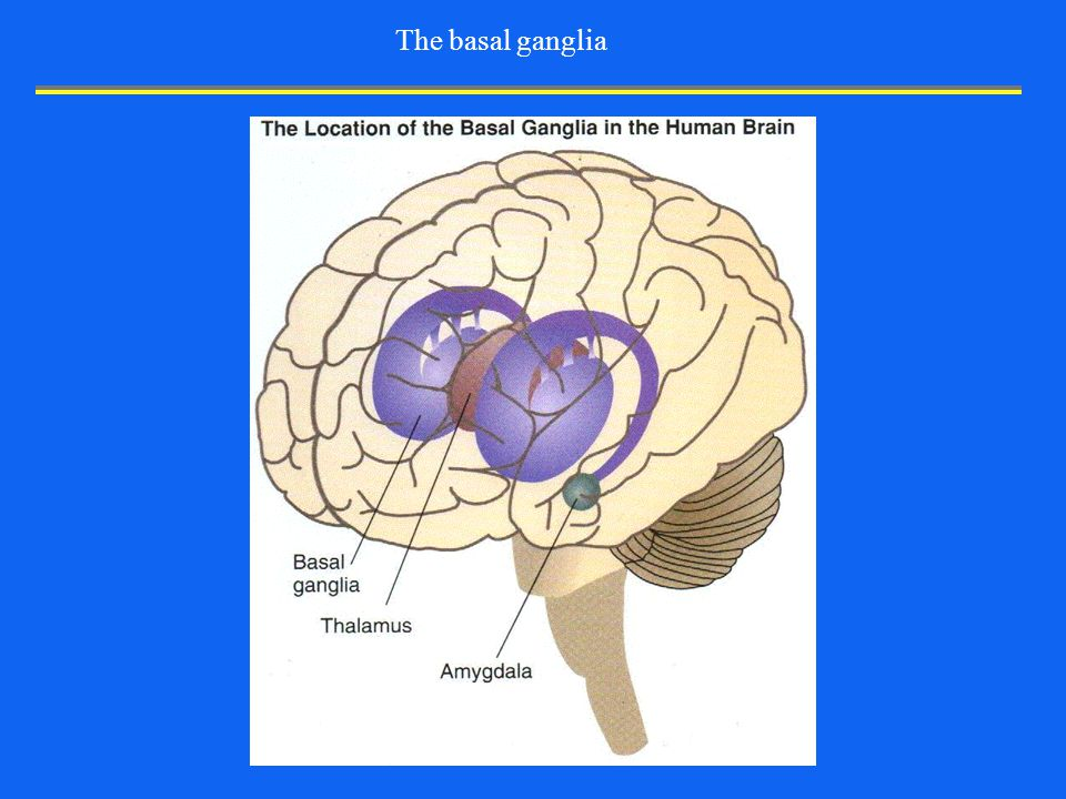"""Introduction to Neurobiology Lecture 2: """"Structure of the Nervous ..."""