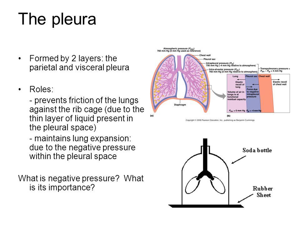 Lung pleura function