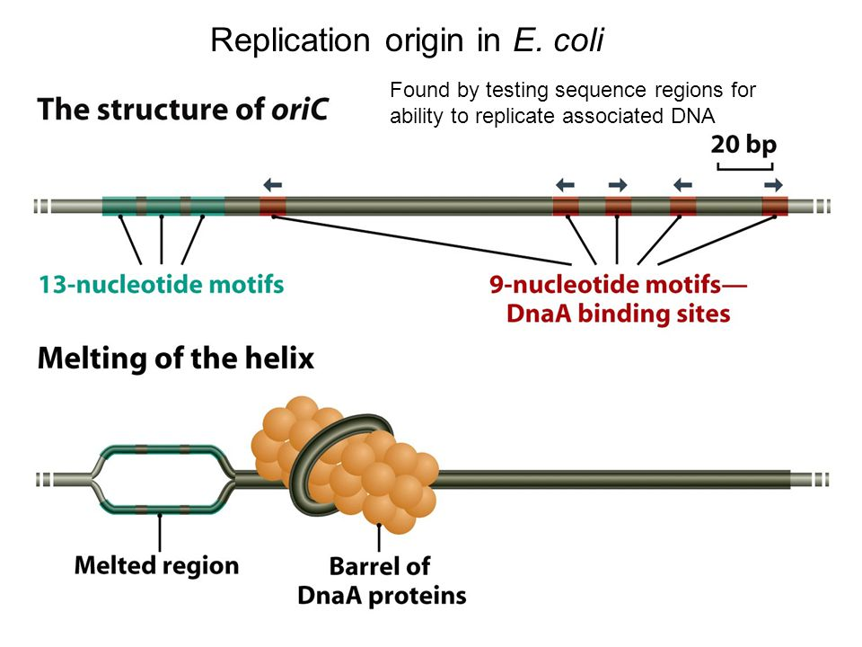 Replication origin in E.
