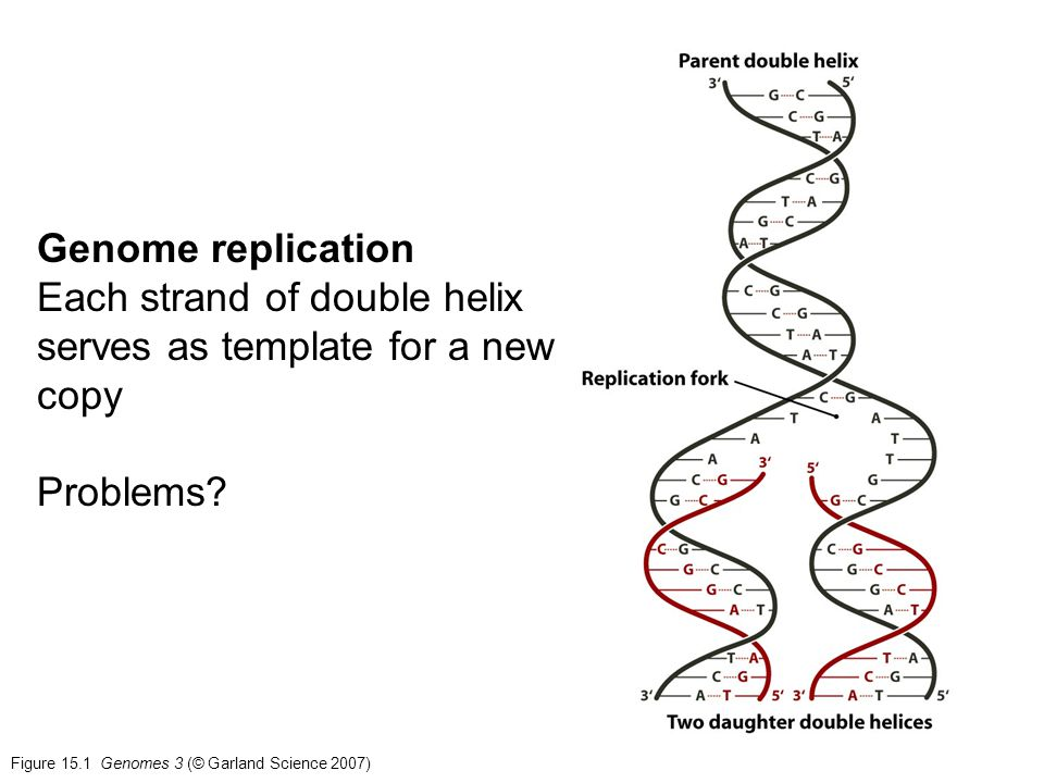 Figure 15.1 Genomes 3 (© Garland Science 2007) Genome replication Each strand of double helix serves as template for a new copy Problems