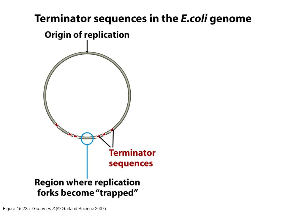 Figure 15.22a Genomes 3 (© Garland Science 2007)