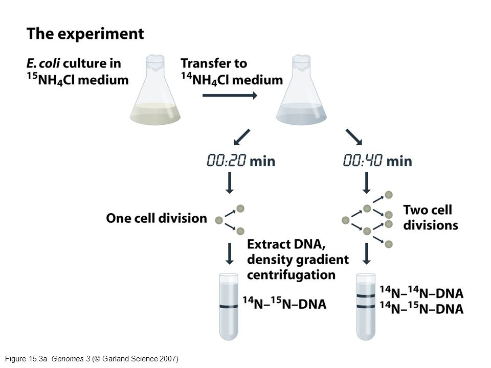 Figure 15.3a Genomes 3 (© Garland Science 2007)