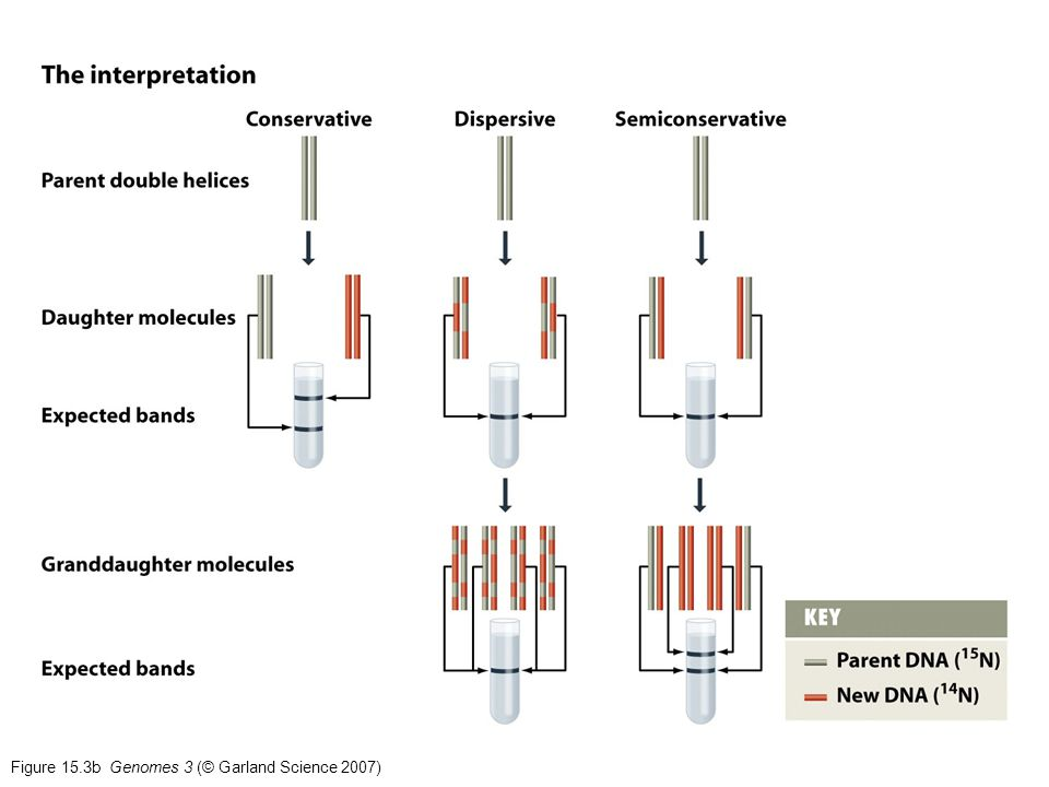 Figure 15.3b Genomes 3 (© Garland Science 2007)