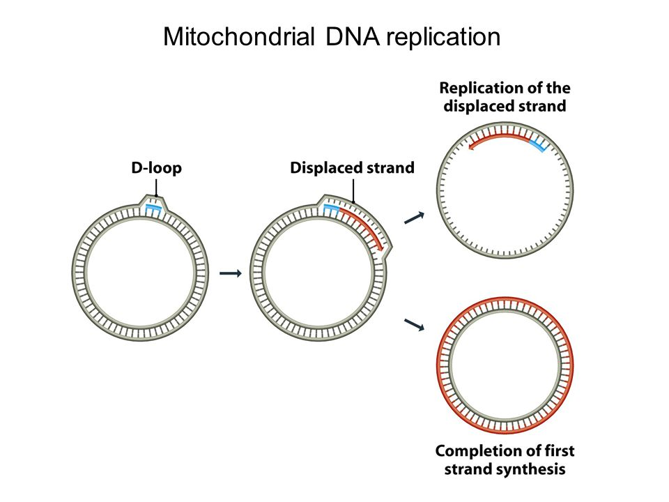Mitochondrial DNA replication