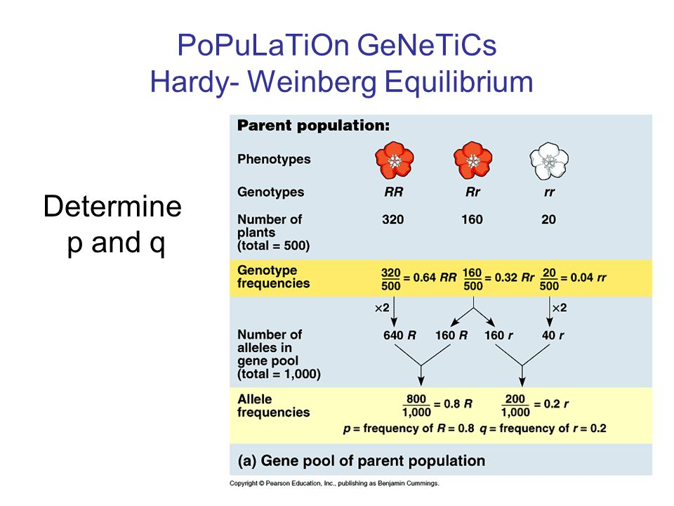 What does p and q mean in hardy weinberg