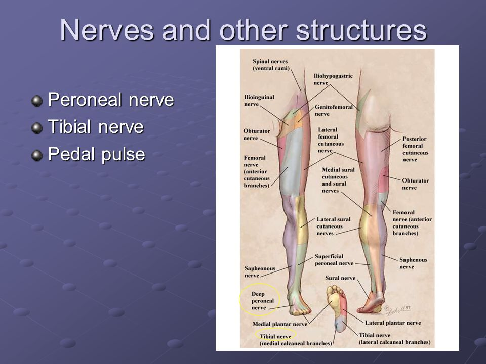 Nerves and other structures Peroneal nerve Tibial nerve Pedal pulse