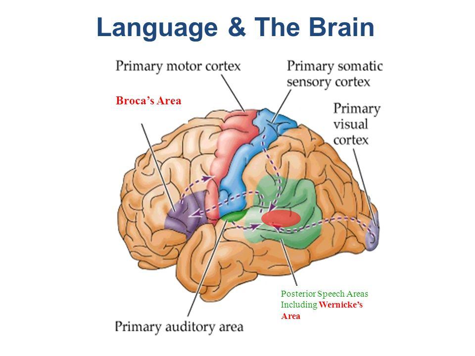 Wernickes Brain Parts Diagram Diy Wiring Diagrams
