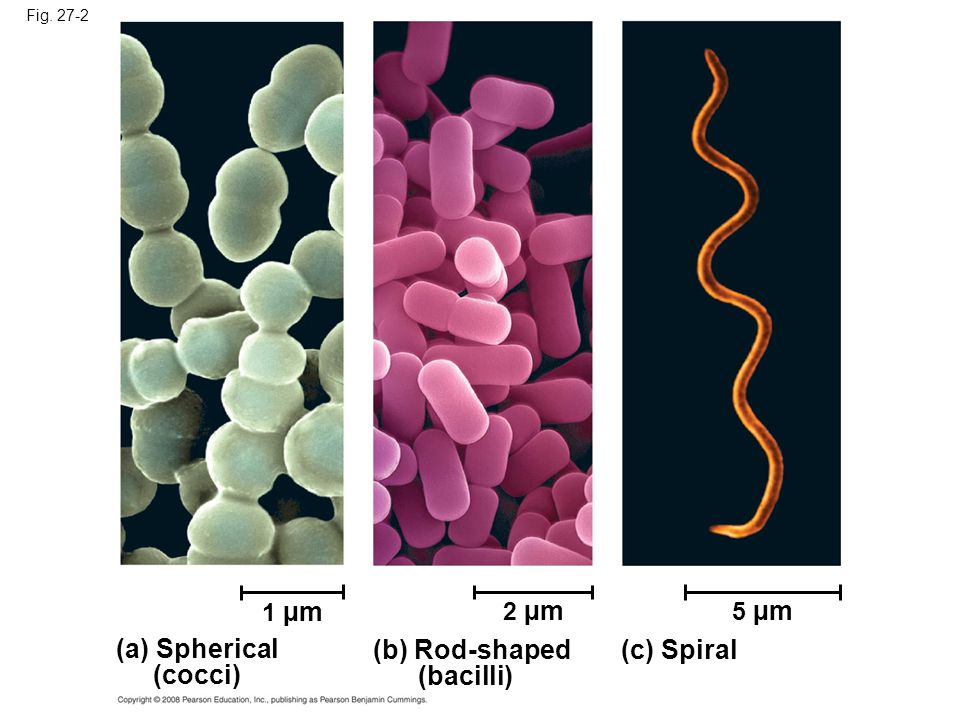 Fig (a) Spherical (cocci) 1 µm (b) Rod-shaped (bacilli) 2 µm (c) Spiral 5 µm