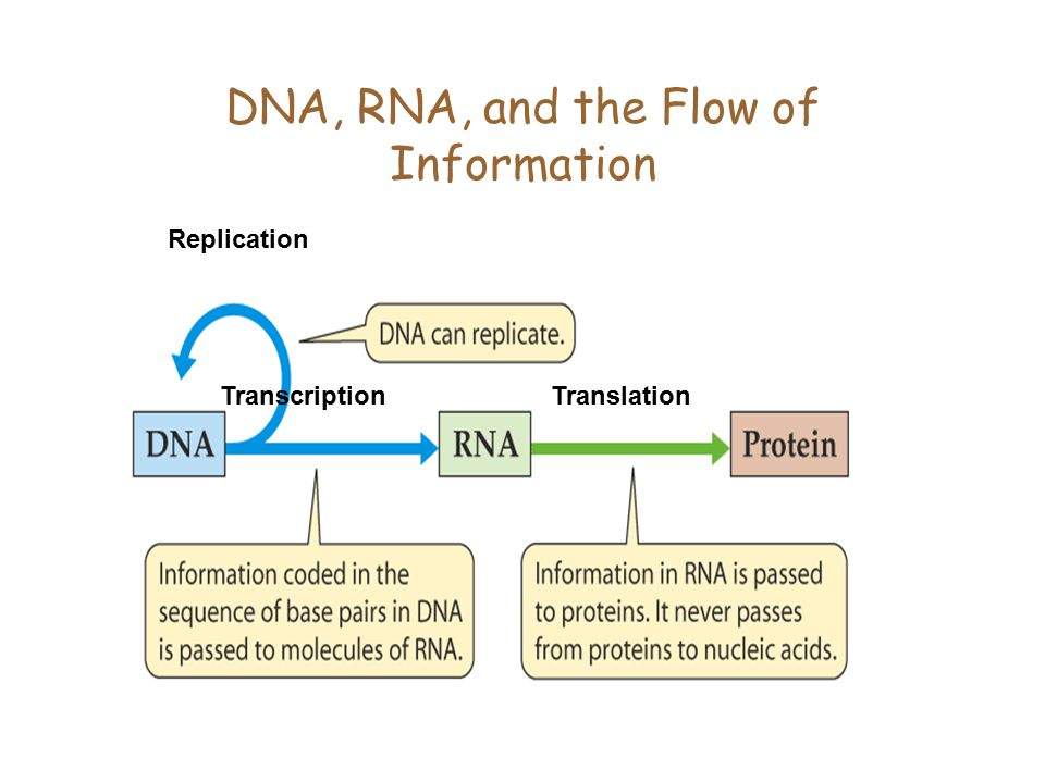 DNA, RNA, and the Flow of Information TranslationTranscription Replication