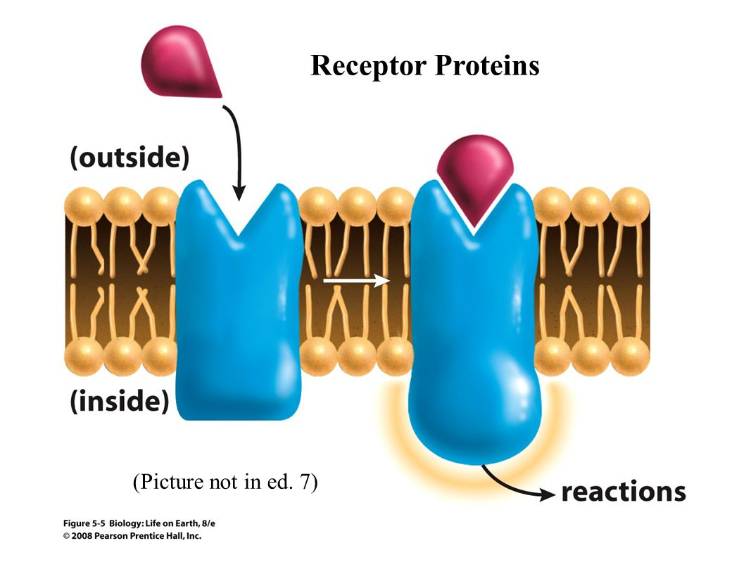 (Picture not in ed. 7) Receptor Proteins
