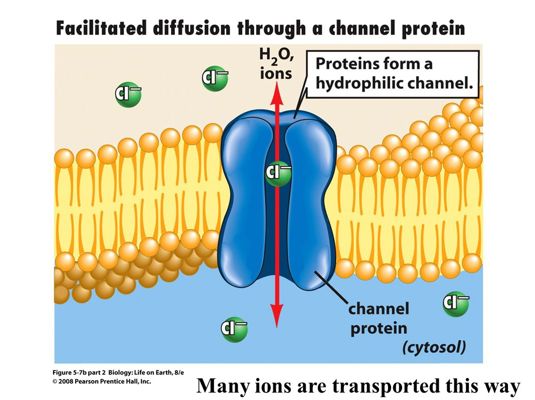 Many ions are transported this way