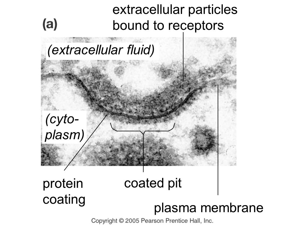 protein coating coated pit extracellular particles bound to receptors plasma membrane (cyto- plasm) (extracellular fluid)