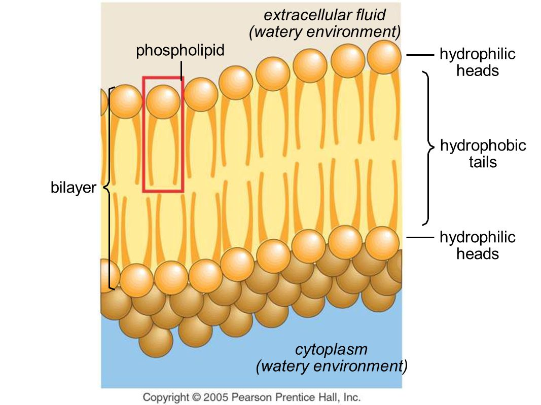 phospholipid hydrophilic heads hydrophobic tails hydrophilic heads extracellular fluid (watery environment) cytoplasm (watery environment) bilayer
