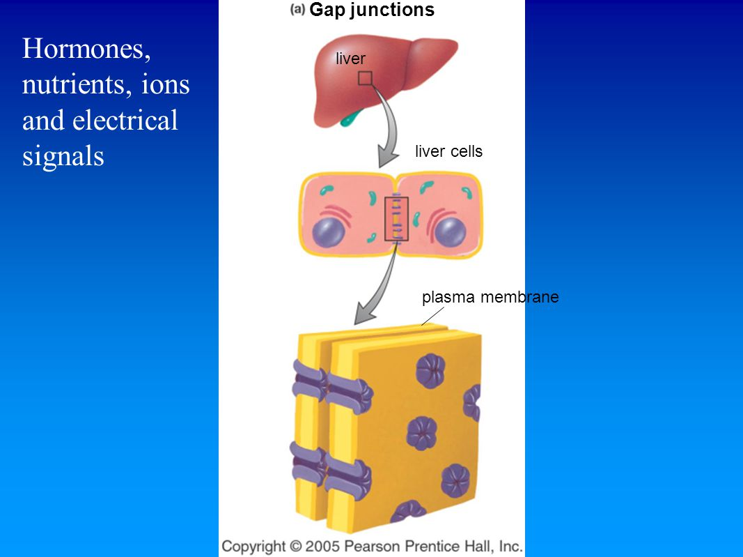 liver liver cells plasma membrane Gap junctions Hormones, nutrients, ions and electrical signals