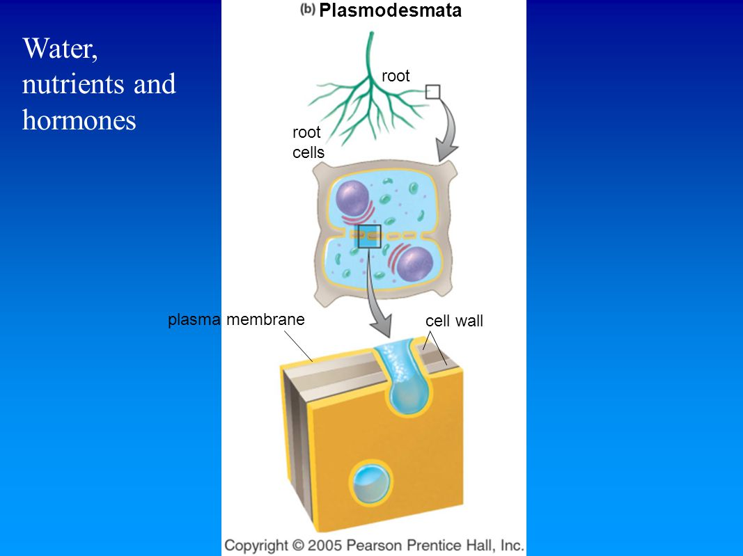 plasma membrane cell wall root cells root Plasmodesmata Water, nutrients and hormones