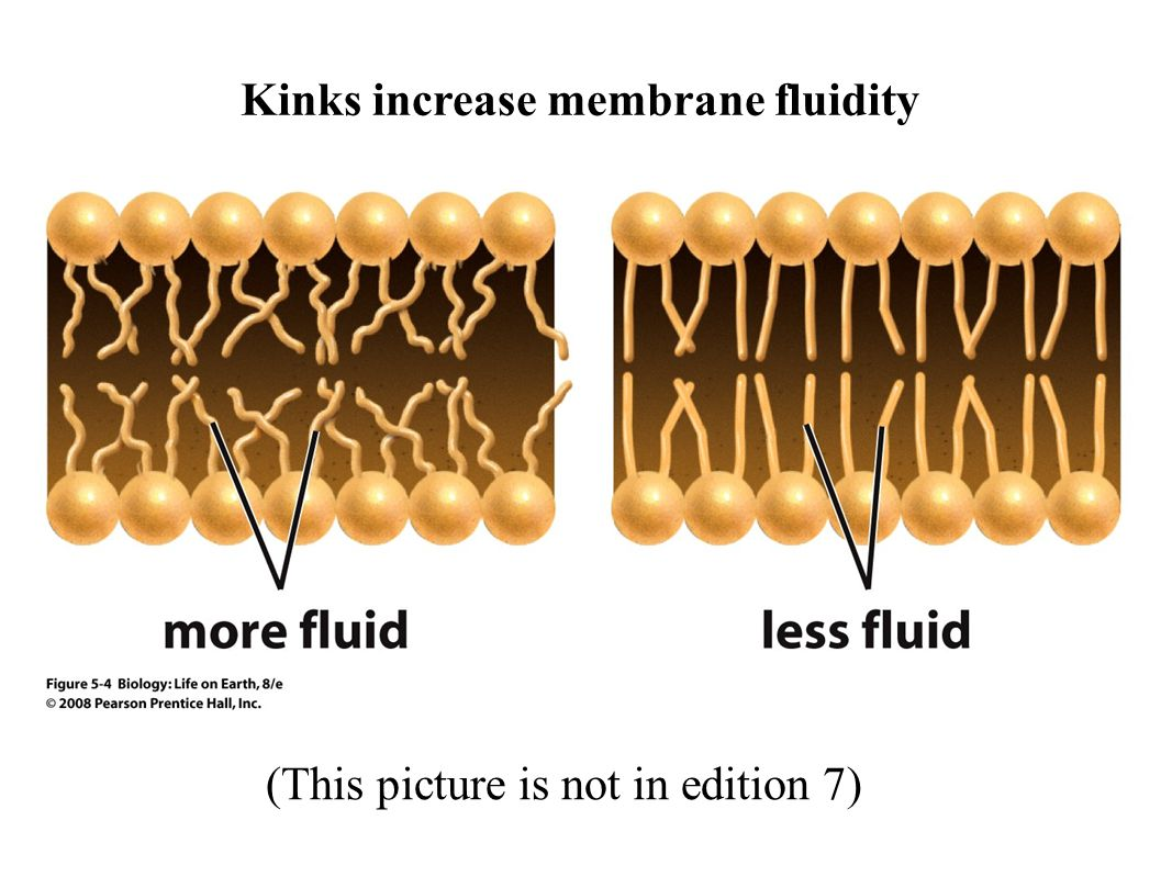 (This picture is not in edition 7) Kinks increase membrane fluidity