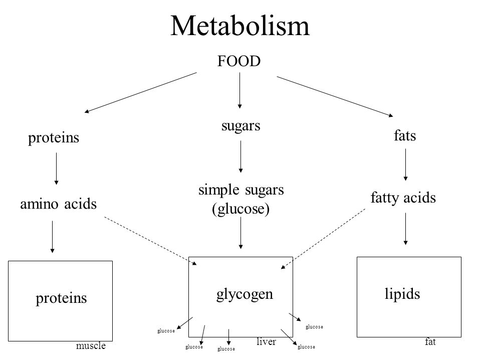 Metabolism FOOD proteins sugars fats amino acids fatty acids simple sugars (glucose) muscle proteins liver glycogen fat lipids glucose