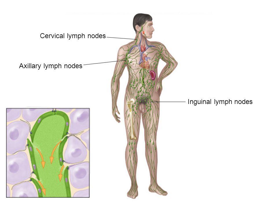 Fig 221te Art Spleen Thymus Thoracic Duct Lymphatic Vessels
