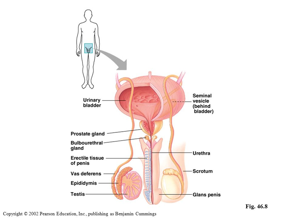 Reproductive Anatomy Of The Human Male The Scrotum And The Penis