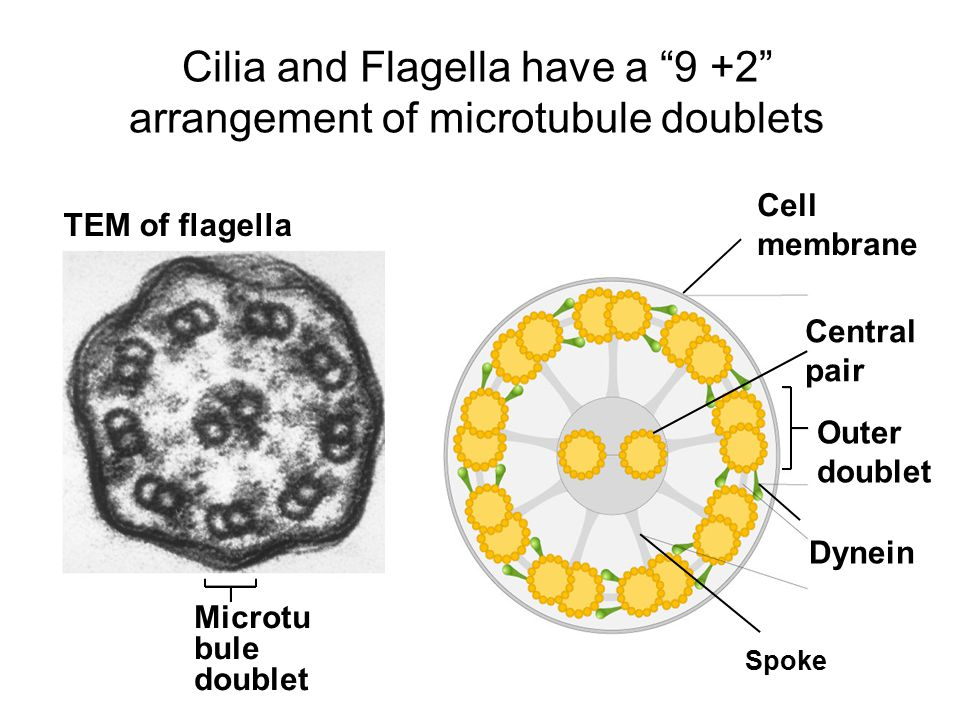 A Tour Of The Cell Cont Last Time Nucleus And