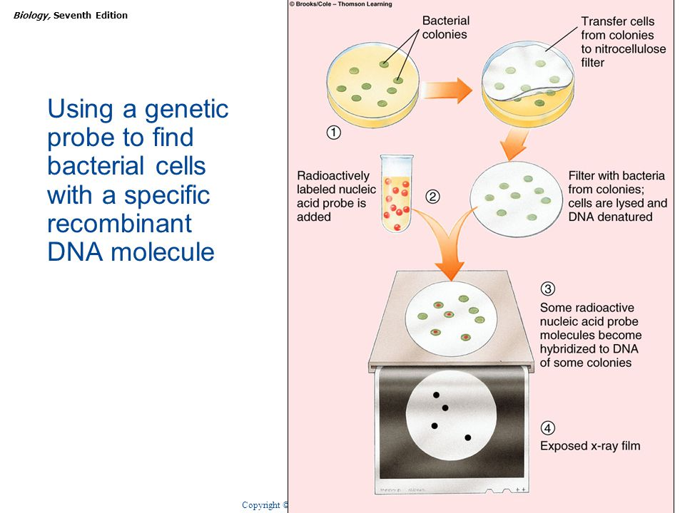 Copyright © 2005 Brooks/Cole — Thomson Learning Biology, Seventh EditionCHAPTER 14 DNA Technologies 16 Using a genetic probe to find bacterial cells with a specific recombinant DNA molecule