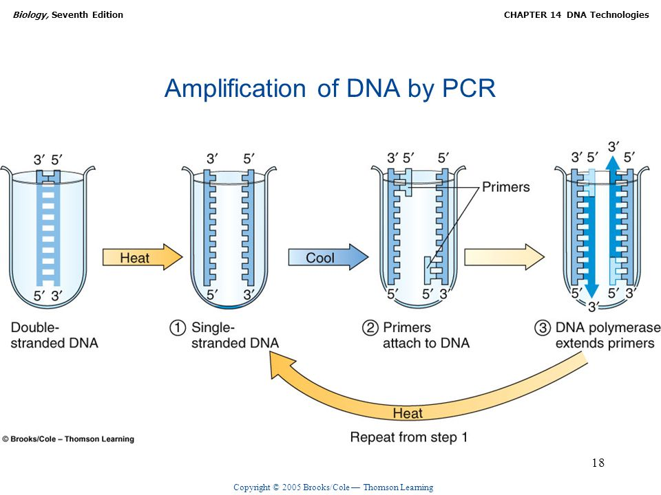 Copyright © 2005 Brooks/Cole — Thomson Learning Biology, Seventh EditionCHAPTER 14 DNA Technologies 18 Amplification of DNA by PCR