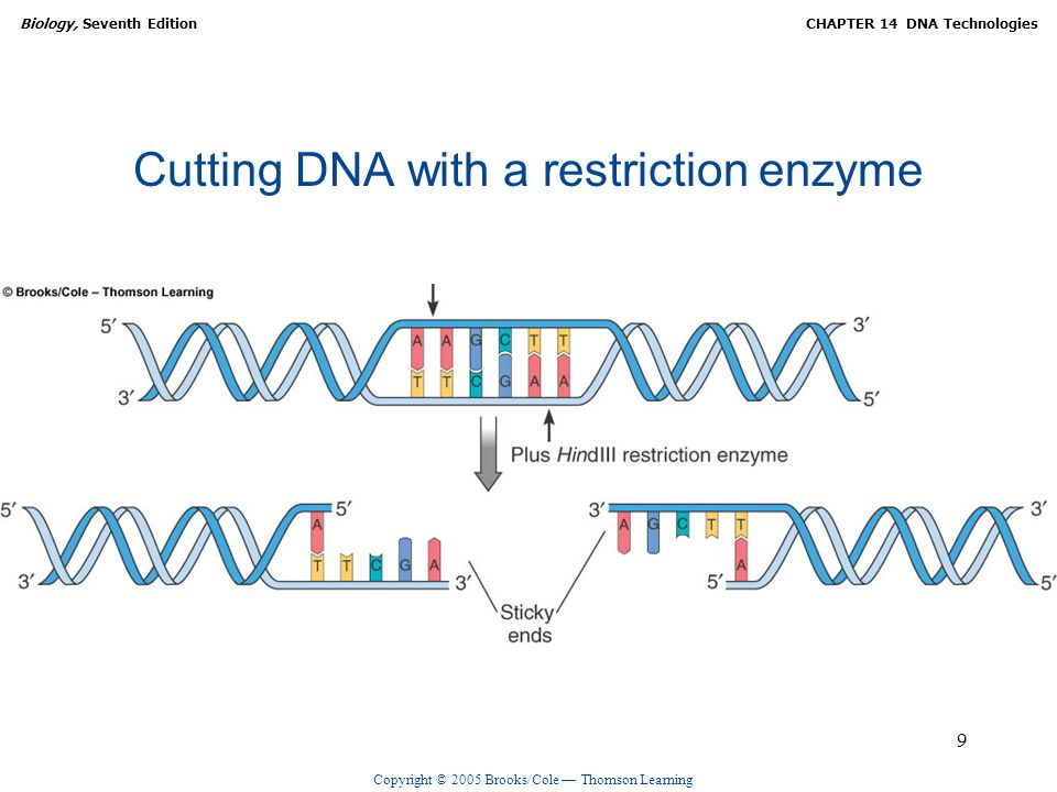 Copyright © 2005 Brooks/Cole — Thomson Learning Biology, Seventh EditionCHAPTER 14 DNA Technologies 9 Cutting DNA with a restriction enzyme