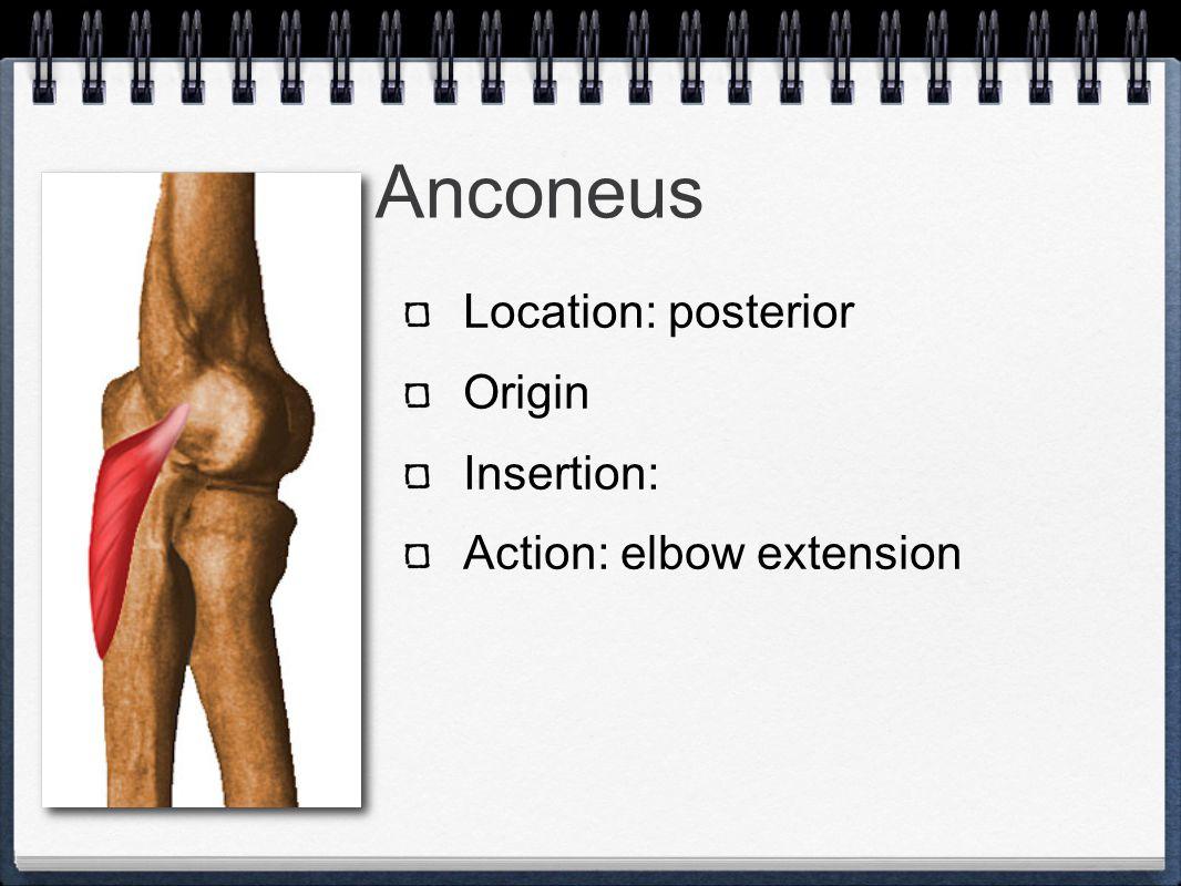 The Wrist Joint Muscles Elbow Flexors Anterior Elbow Extensors