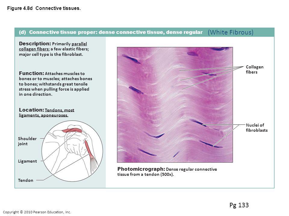 Connective 1loose Areolar Adipose Reticular 2 Dense Dense