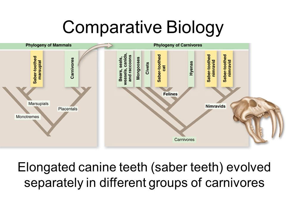 Comparative Biology Elongated canine teeth (saber teeth) evolved separately in different groups of carnivores