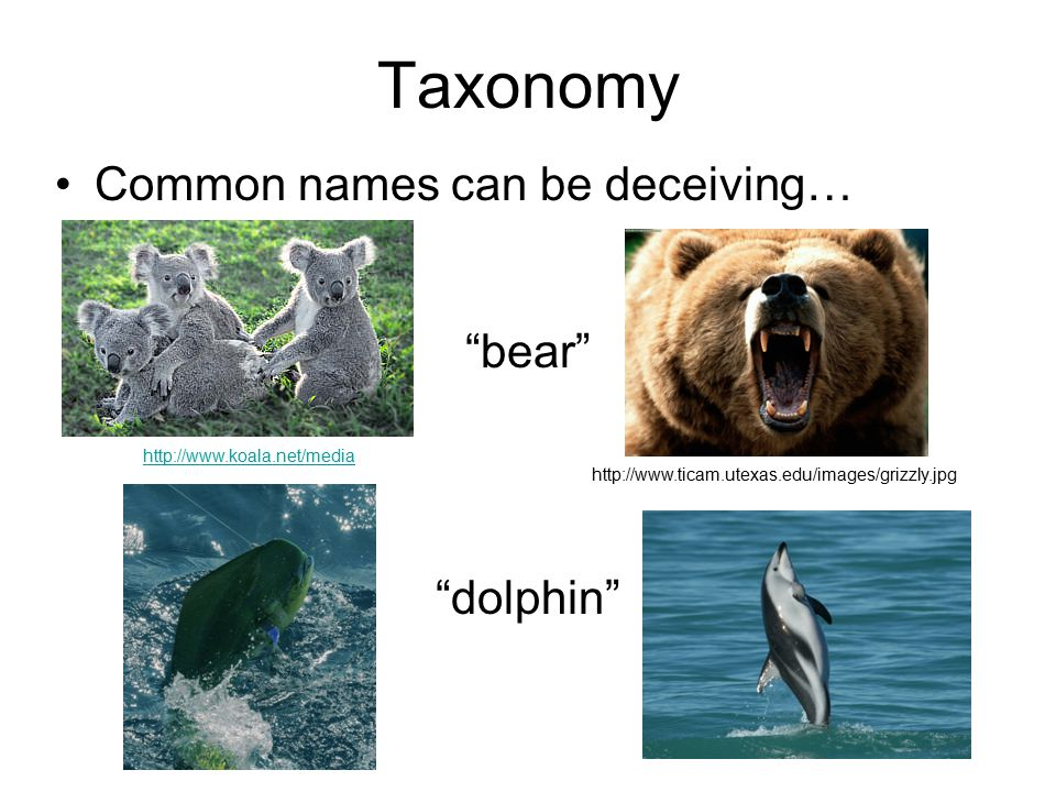 Taxonomy Common names can be deceiving…     bear dolphin