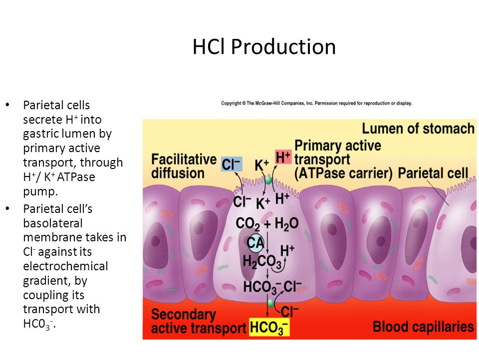 HCl Production Parietal cells secrete H + into gastric lumen by primary active transport, through H + / K + ATPase pump.