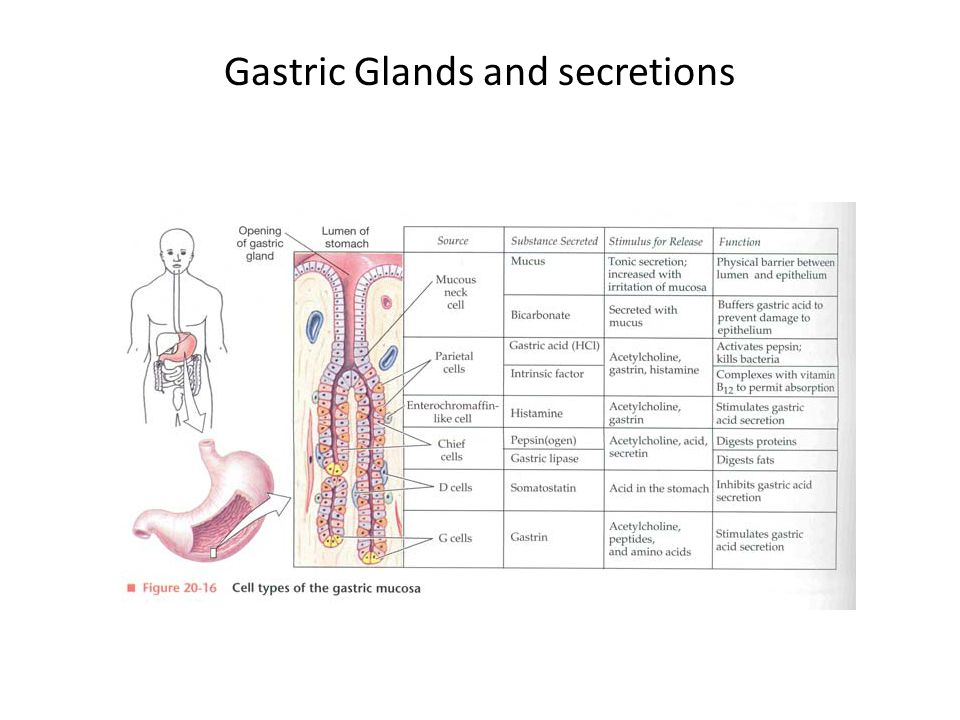Gastric Glands and secretions