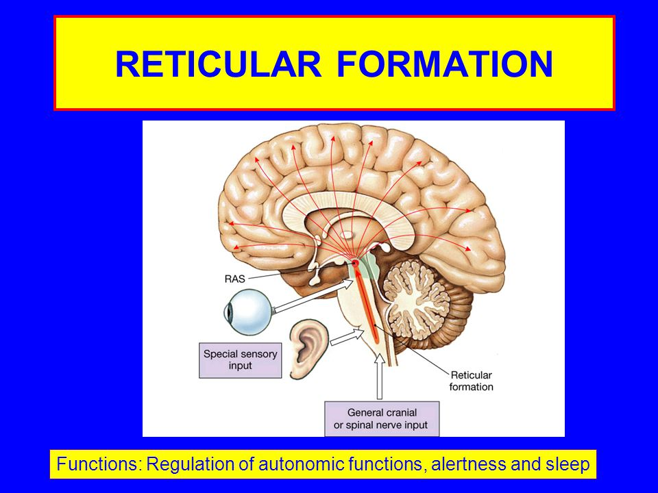 RETICULAR FORMATION Functions: Regulation of autonomic functions, alertness and sleep