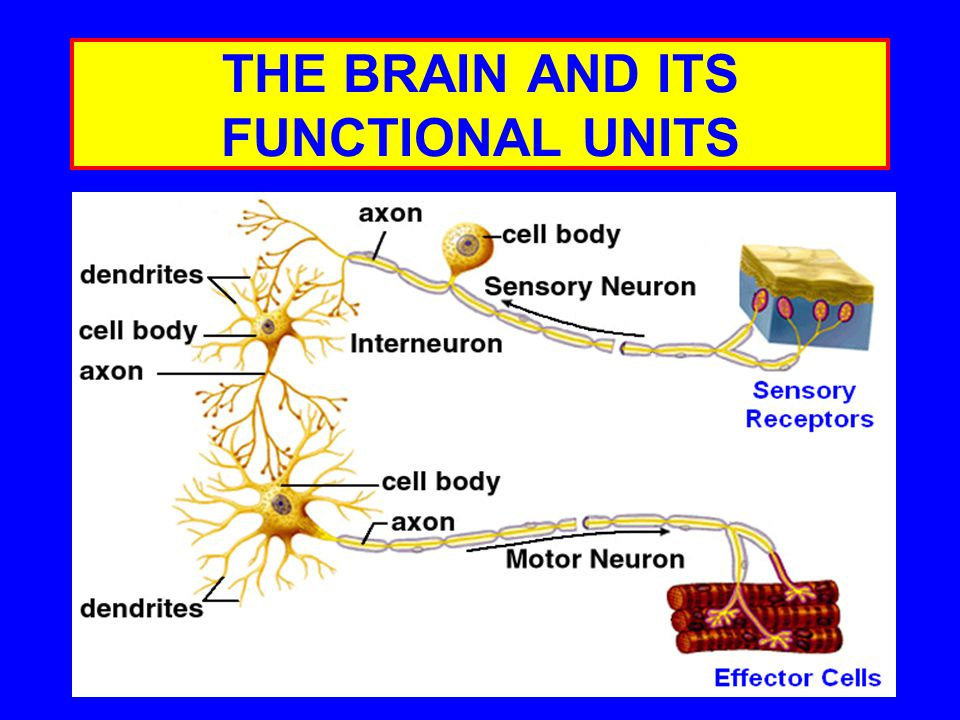 THE BRAIN AND ITS FUNCTIONAL UNITS