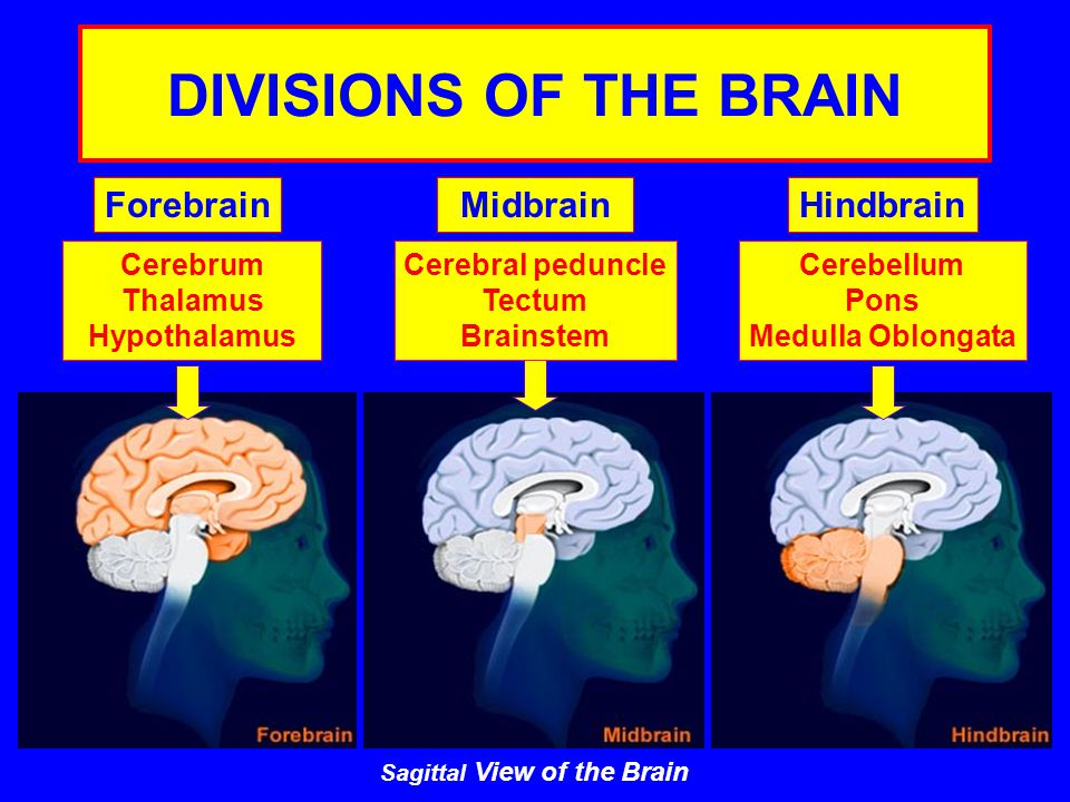 DIVISIONS OF THE BRAIN ForebrainMidbrainHindbrain Cerebrum Thalamus Hypothalamus Cerebral peduncle Tectum Brainstem Cerebellum Pons Medulla Oblongata Sagittal View of the Brain