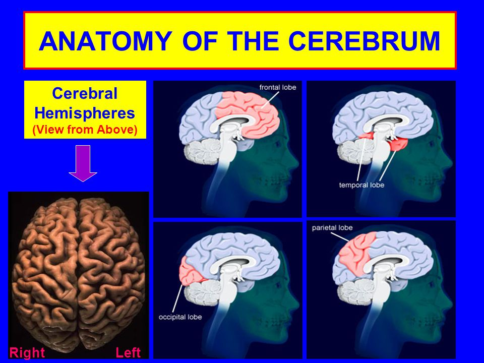 ANATOMY OF THE CEREBRUM Cerebral Hemispheres (View from Above) LeftRight
