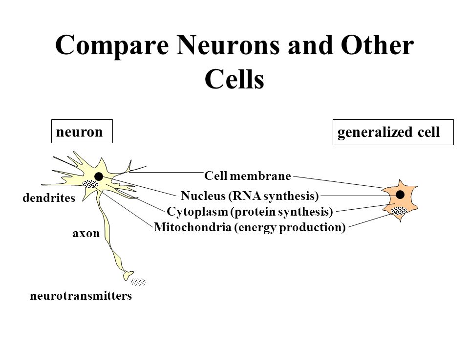 Anatomy of a Nerve Cell POST-SYNAPTIC NEURON dendrites impulse ...