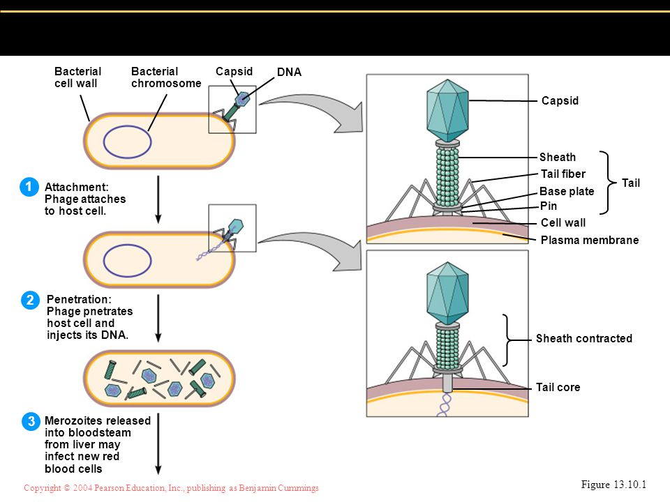 Copyright © 2004 Pearson Education, Inc., publishing as Benjamin Cummings Figure Attachment: Phage attaches to host cell.