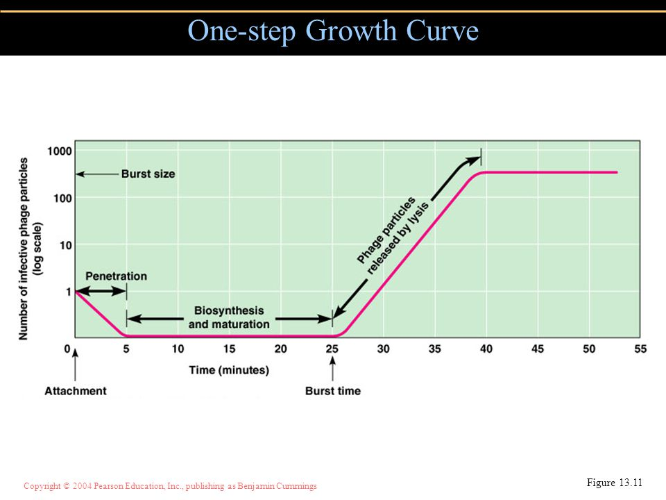 Copyright © 2004 Pearson Education, Inc., publishing as Benjamin Cummings One-step Growth Curve Figure 13.11