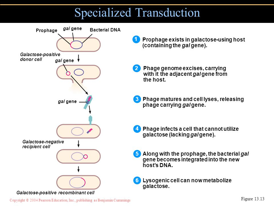 Copyright © 2004 Pearson Education, Inc., publishing as Benjamin Cummings Specialized Transduction Figure Prophage exists in galactose-using host (containing the gal gene).