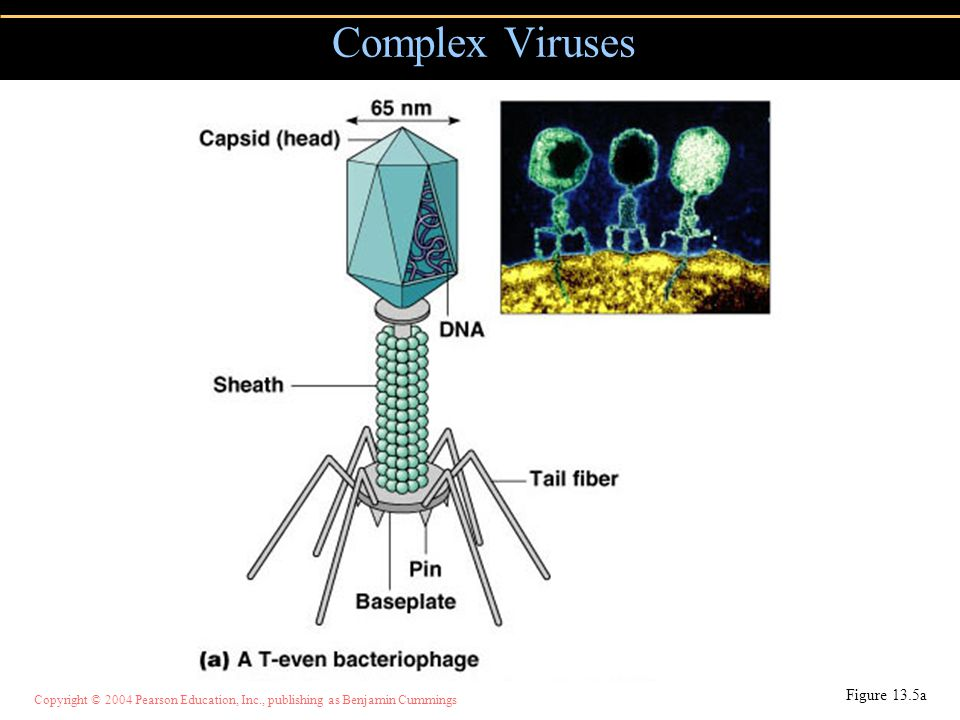 Copyright © 2004 Pearson Education, Inc., publishing as Benjamin Cummings Complex Viruses Figure 13.5a