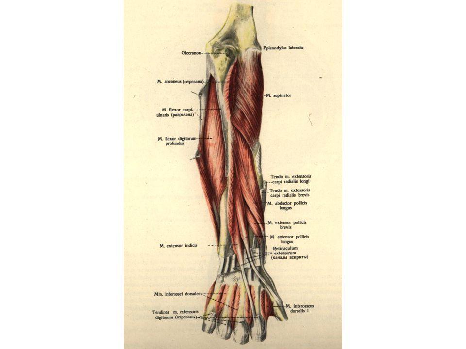 Forearm (Antibrachium) - ppt video online download