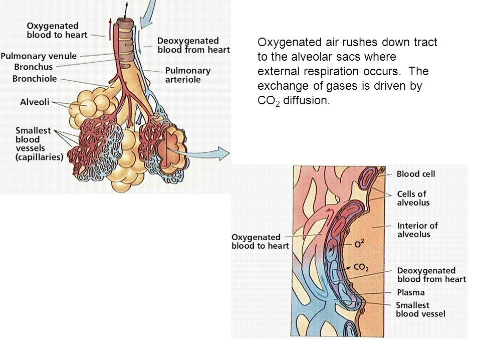 Oxygenated air rushes down tract to the alveolar sacs where external respiration occurs.
