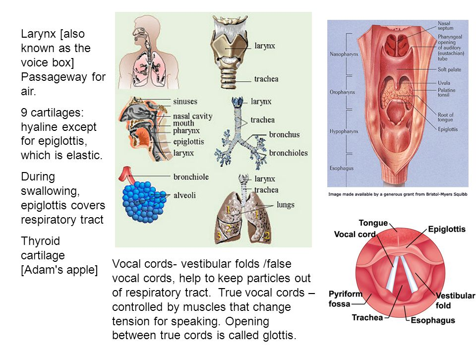 Larynx [also known as the voice box] Passageway for air.
