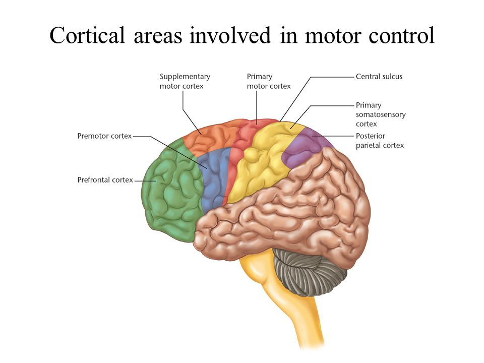 Motor cortex Organization of motor cortex Motor cortical map Effect ...